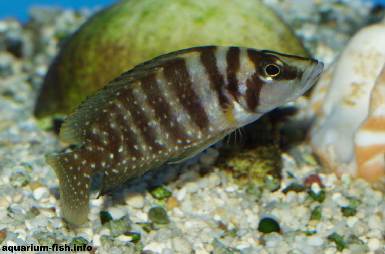There are several colour variants of <I>Altolamprologus calvus</I>, ranging from almost white to almost black. All live amongst the rocks in the shoreline of Lake Tanganyika