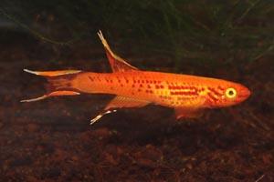 Aphyosemion australe - Cape Lopez lyretail, Lyretailed killifish - The