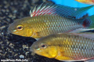 Apistogramma hongsloi -  - Tank bred individuals are invariably more colourful than wild-caught specimens