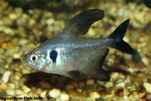 Megalomphodus megalopterus - Black Phantom Tetra - An aquarium favourite, <I>Megalomphodus megalopterus</I> is most at home in a planted Amazon-style tank