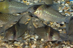 Corydoras melanistius - Blue-spotted Corydoras - A group of blue-spotted cory cats
