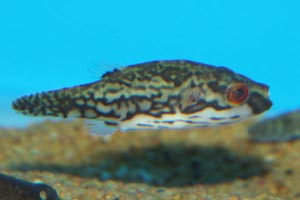 Carinotetraodon irrubesco - Red-tailed puffer, Red-eyed pufferfish - A female red-eye / red-tail pufferfish