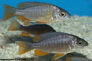Copadichromis borleyi -  - A young pair of <I>Copadichromis borleyi</I>. The male (top) will develop far more intense colours: a yellow/orange body with a blue head, whilst the female (below) can be almost black