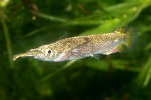 Dermogenys pusillus - Half-beak - Dermogenys pusillus male.