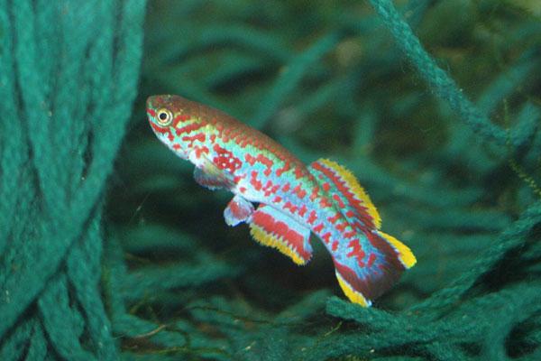 Breeding Aquarium Fish Spawning Mops Aquarium Fish Info
