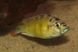 Haplochromis obliquidens -  - CH44. Lake Victoria cichlids are on the brink of extinction, due to the introduction of the highly predatory Nile perch