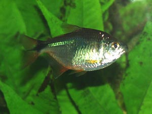 Hemigrammus caudovittatus - Buenos Aires Tetra - This species is a voracious plant eater, however it will not eat Java fern.