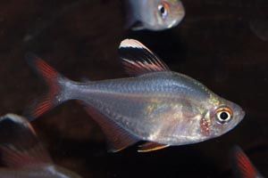 Hyphessobrycon bentosi - Ornate tetra, White-tipped tetra, Bentos tetra, False rosy tetra - Hyphessobrycon bentosi
