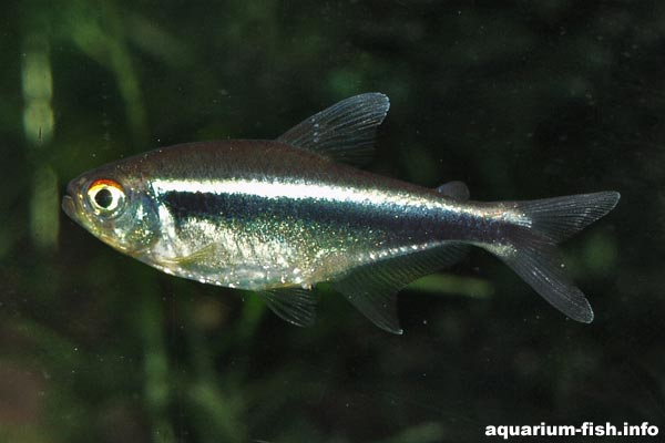The colouration of the sexes is similar, however female fish are deeper bodied than the males