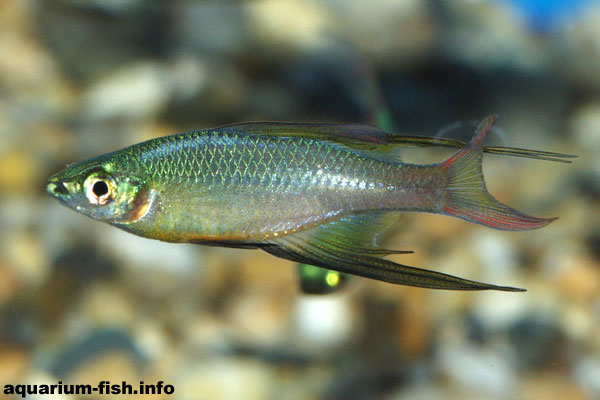 The threadfin rainbow fish is a magnificent, but delicate species from slow moving waters in New Guinea