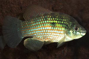 Jordanella floridae - American flagfish - The American flag fish is primarily vegetarian, grazing on algae