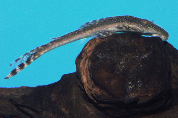 <I>Lasiancistrus tentaculatus</I>, L092, feeds by rasping on driftwood