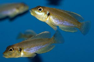 Lamprologus ocellatus - Gold shell-dwelling cichlid - Two splendid males