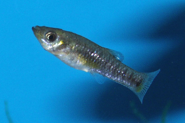 A female Limia melanogaster *blue*
