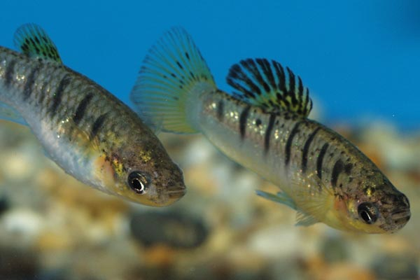 The male is noticeably smaller than female, but more intensely coloured