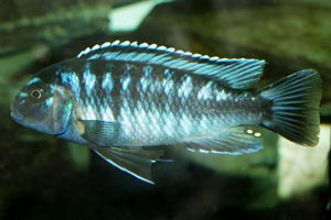 Melanochromis johanni - Johanni Mbuna - johanni males are considerably less aggressive than other Melanochronis species