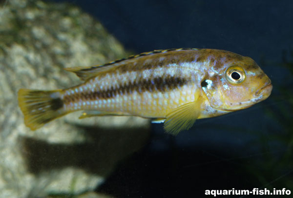 Female Melanochromis johanni have a largely yellow body and fins, unlike males of the species which are entirely black/blue