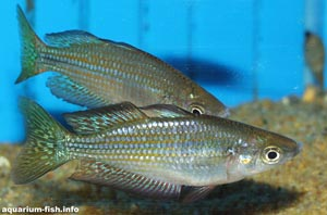 Melanotaenia papuae - Papuan Rainbowfish - Two male <I>Melanotaenia papuae</I>