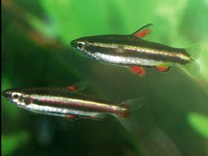 Nannostomus marginatus - Dwarf pencil fish - The Dwarf pencil fish