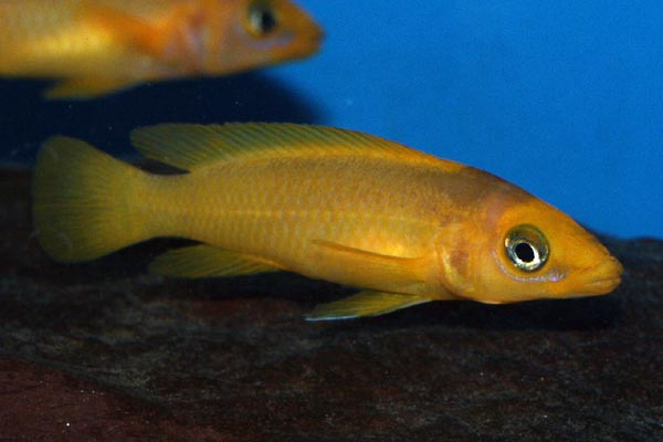 A good varied diet is essential to keep this fish lookig its best