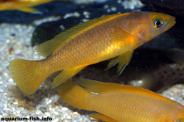 The brilliantly coloured Lemon cichlid, <I>Neolamprologus leleupi</I> from Lake Tanganyika