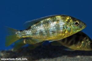 Nimbochromis venustus - Giraffe Cichlid, Giraffe Haplochromis - A younger Nimbochromis venustus without it