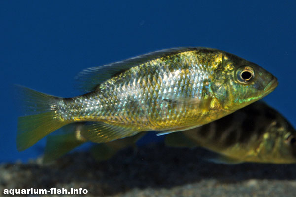A younger Nimbochromis venustus without it