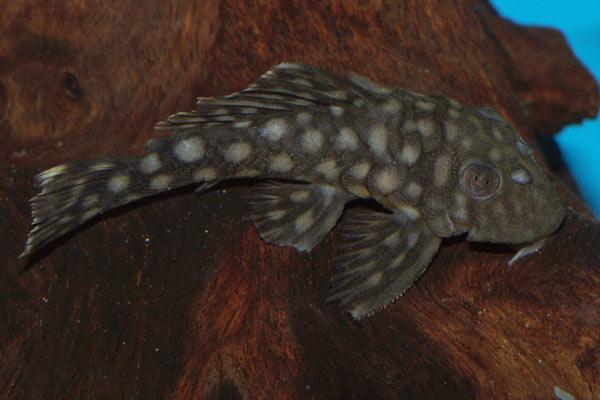 L number loricariid catfish, L20