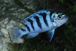 Pseudotropheus lombardoi -  - A young male, with typical blue colouration
