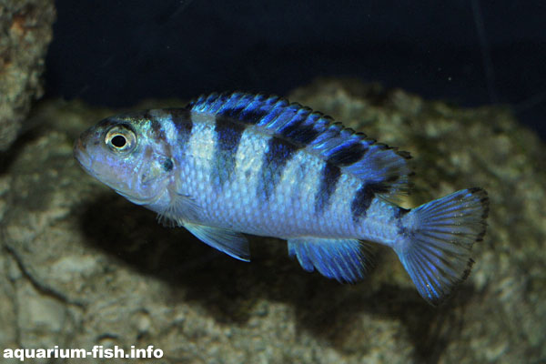 Like all Malawi mbuna species, <I>Pseudotropheus lombardoi</I> makes it