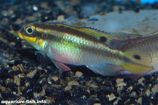 <I>Pelvicachromis taeniatus</I> female, from Lobe, Cameroon