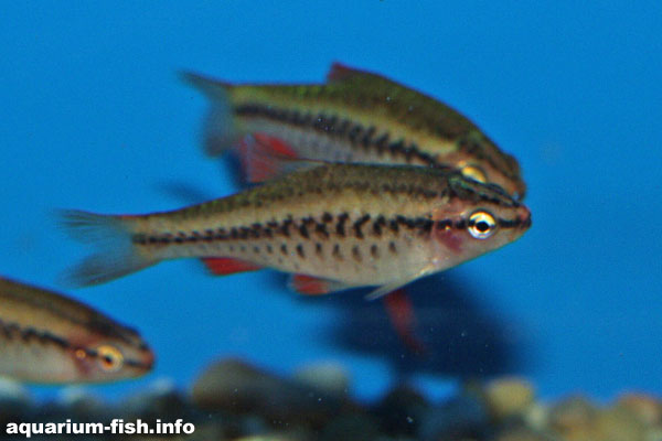 Female cherry barbs do not have the bright colouration of the males, just a stripe... but they do still have red fins