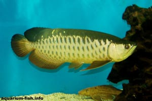 Scleropages formosus - Golden Arowana - A red-tailed golden Arowana
