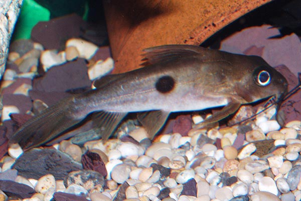 The species name notatus refers to the spot on this fish