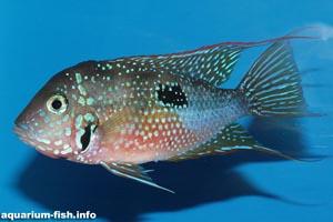 Thorichthys ellioti -  - A colourful male