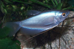 Trichogaster microlepis - Moonlight gourami - Microlepis means small scales (micro: small, lepis: scales)
