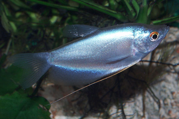 Microlepis means small scales (micro: small, lepis: scales)