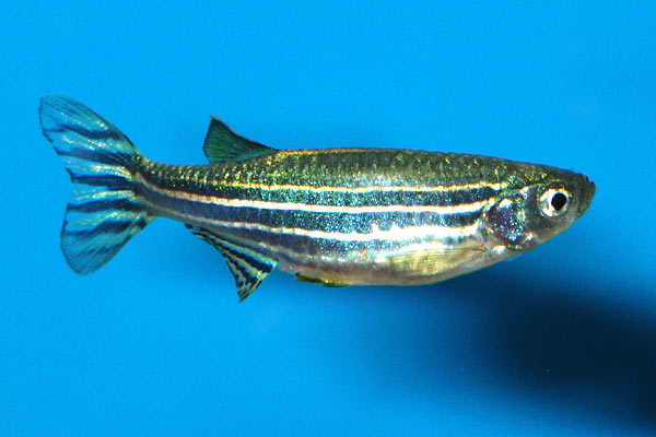 A female zebra fish