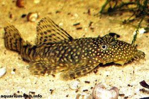 Ancistrus temmincki - Temmincks bristlenose, Bristlenose catfish - Ancistrus temmincki, or Temmincks bristlenose - males sport a bristly nose