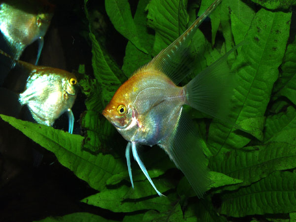 This is the golden strain of angelfish