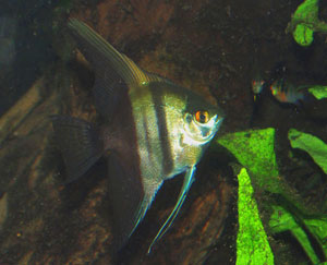 Pterophyllum scalare - Angel Fish - There are many angelfish cultivars; this is the half-black