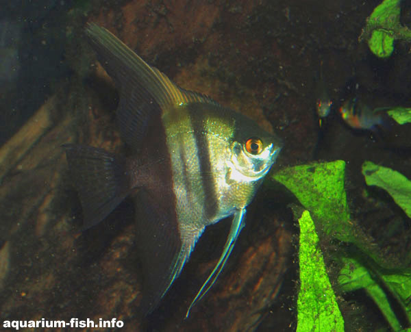 There are many angelfish cultivars; this is the half-black