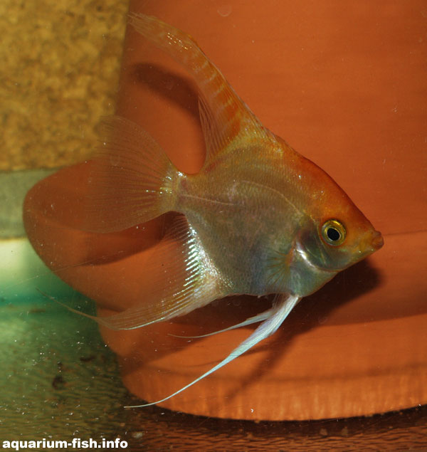 A Gold angelfish in front of a spawning cone; these act as a substrate on which discus and angelfish can spawn