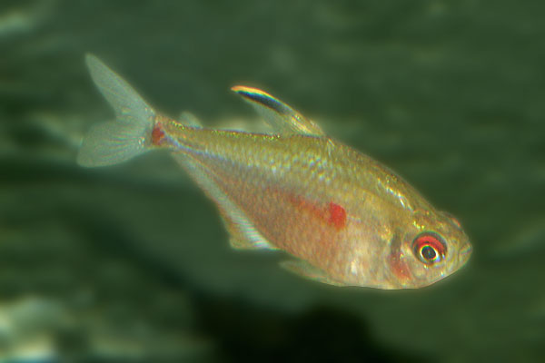 The bleeding heart tetra gets its name from the heart shaped red spot on its body