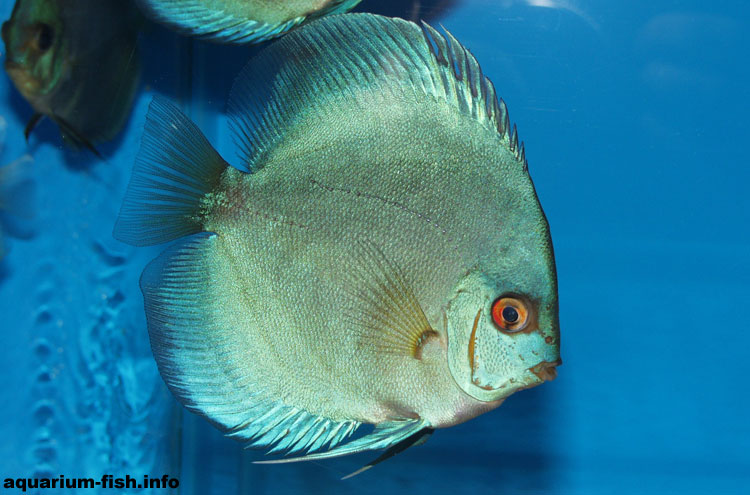Blue Diamond Discus are another cultivar, and a very attractive and popular one too