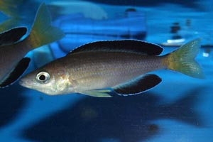 "Cyprichromis leptosoma - species Jumbo Kitumba - Species ""Jumbo Kitumba"""