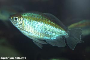 Phenocogrammus interuptus - Congo Tetra - The Congo tetra is one of the larger tetras generally available for the aquarium
