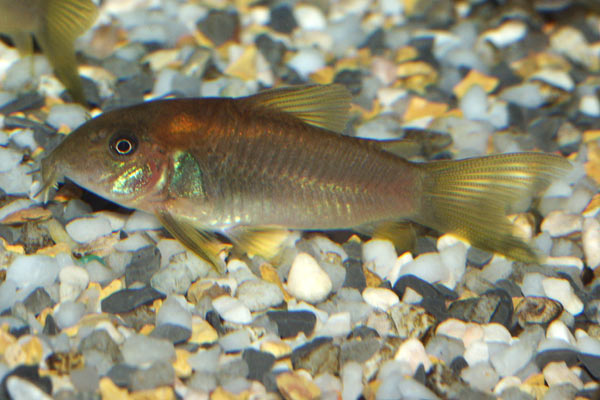 The bronze cory is very common across South America, and in the aquarium trade