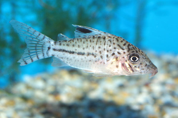 Several species are sold in the aquarium trade as Corydoras leopardus