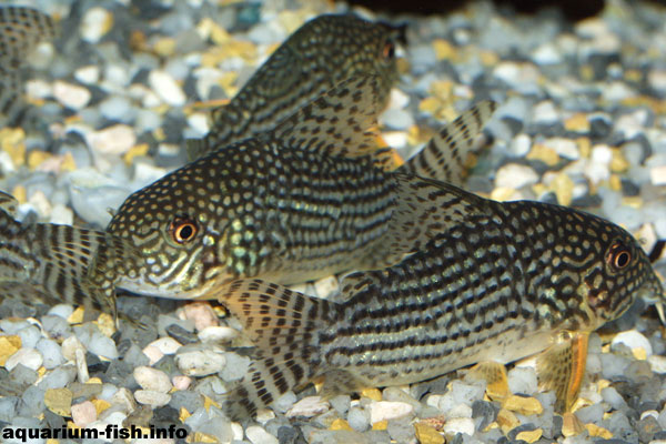 A fine looking Corydoras